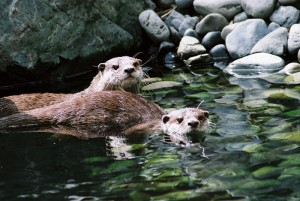 Two Happy Otters
