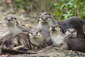 The Entire Otter Family
